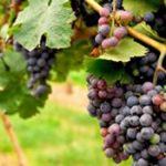 Jesus, the True Vine